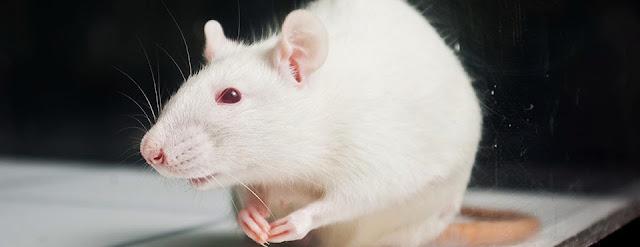Tikus Kencing