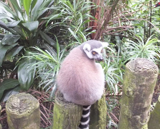 Singapore Zoo Lemur