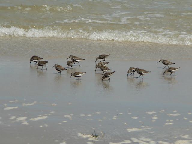 Stado biegusów zmiennych żerujące na plaży