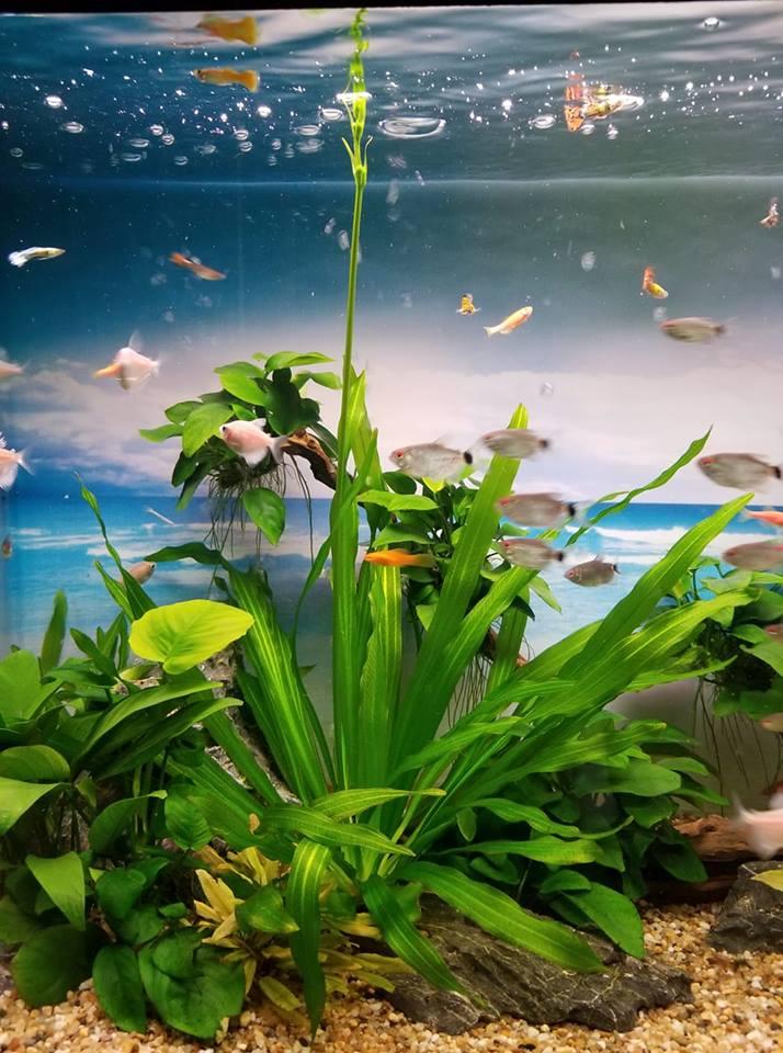 Cây Lưỡi Mèo trong hồ thủy sinh của bạn Trang Dang