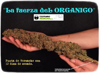cultivo cannabis toni