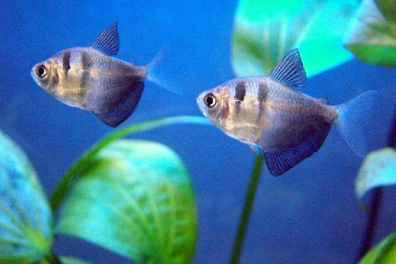 64. Jenis Ikan Hias Aquascape Black Tetra