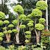 Jual Bonsai Anting Putri | Jasa Pembuatan Taman | 08999778806