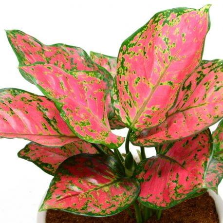 Aglaonema Red Ruby