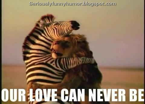 Zebra and Lion hug - Our love can never be