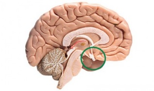 Definisi-Kelenjar-Hipofisis