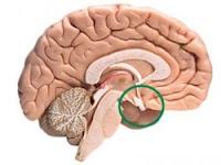 √ Definisi Kelenjar Hipofisis, Letak Kelenjar Hipofisis dan 10 Fungsi Kelenjar Hipofisis