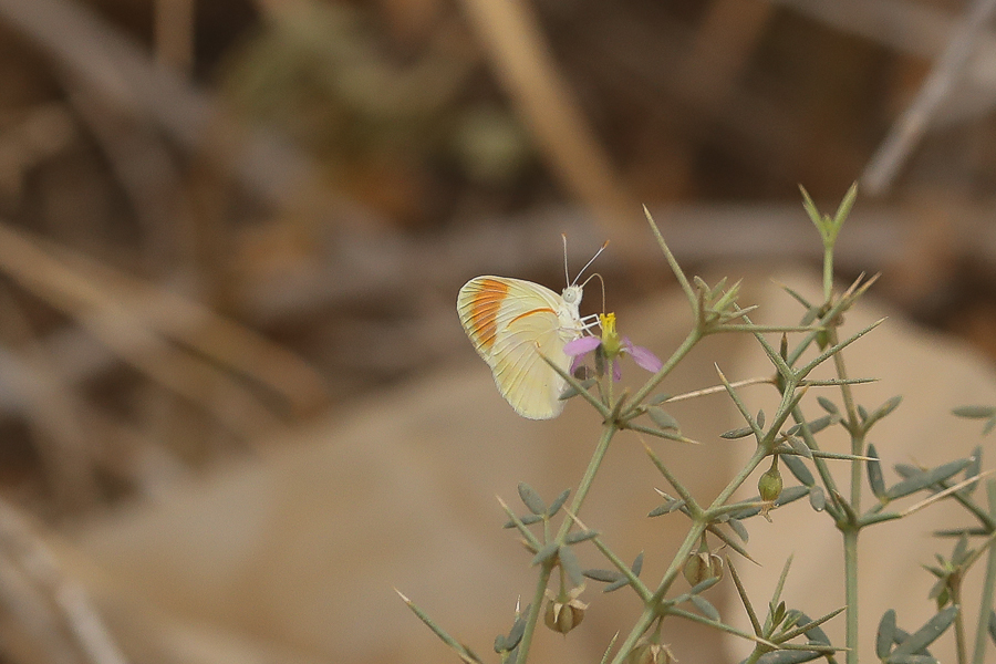 Small Orange Tip Colotis evagore evagore