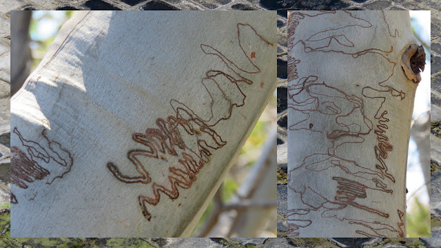 Scribby Gum Moth Writing on the Hobart to Port Arthur Drive in Tasmania