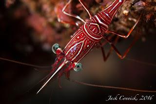Lembeh Shrimp