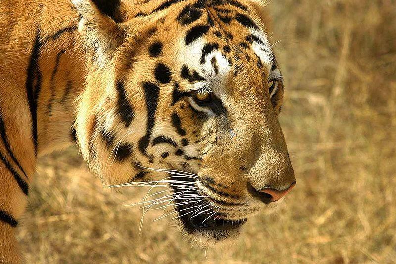 CloseUp-Wajah-Harimau Berkelas