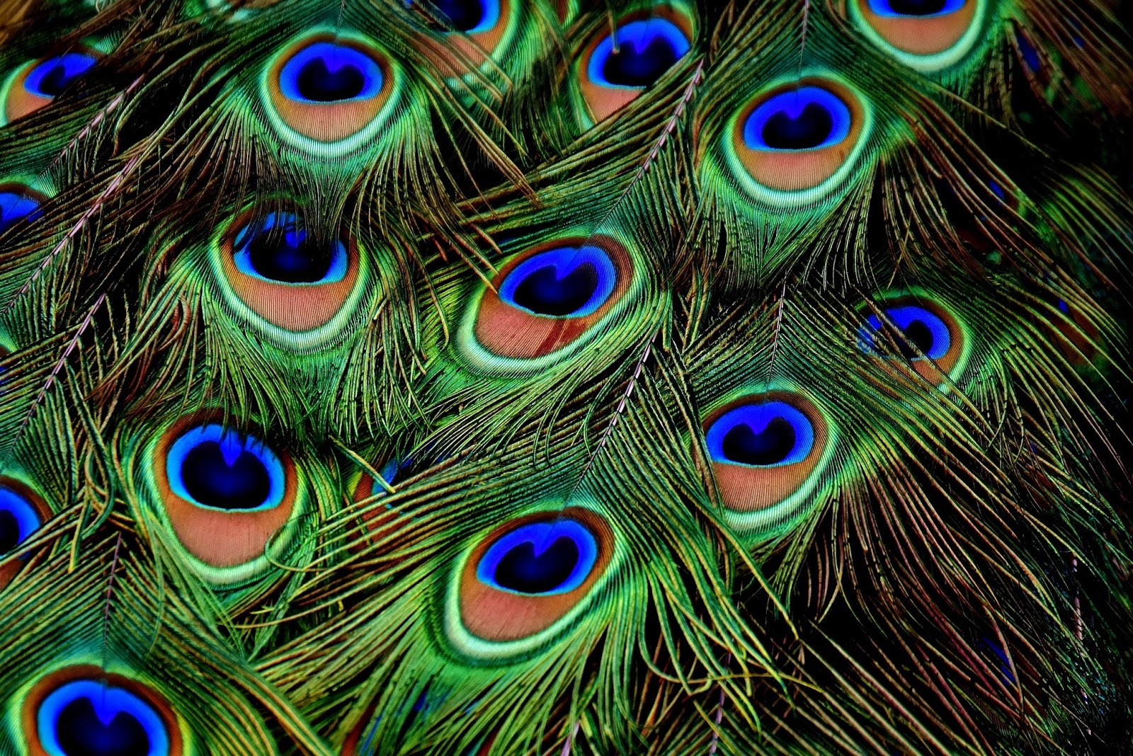 Picture of peacock tail feathers.