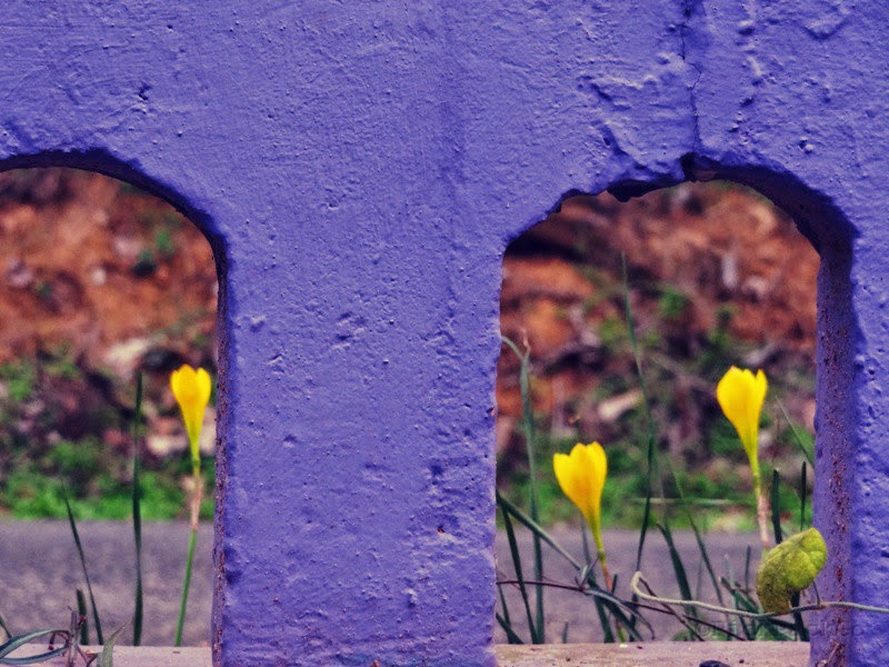 yellow flowers and violet foreground
