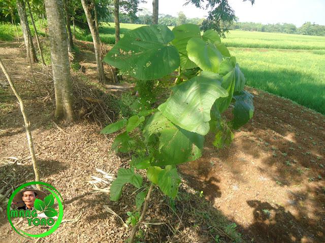 Pohon Tisuk atau waru laki - laki (Hibiscus macrophyllus)