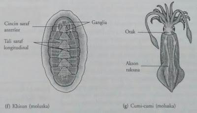 Sistem saraf moluska