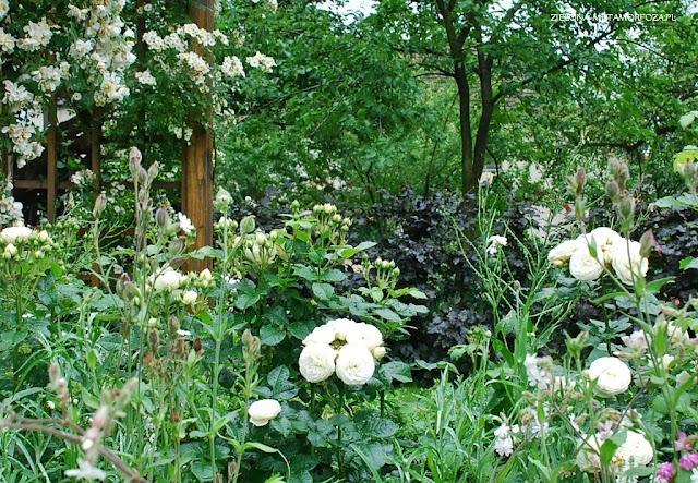 zielona metamorfoza.pl, róże do ogrodu, ogrody, projekty ogrodów