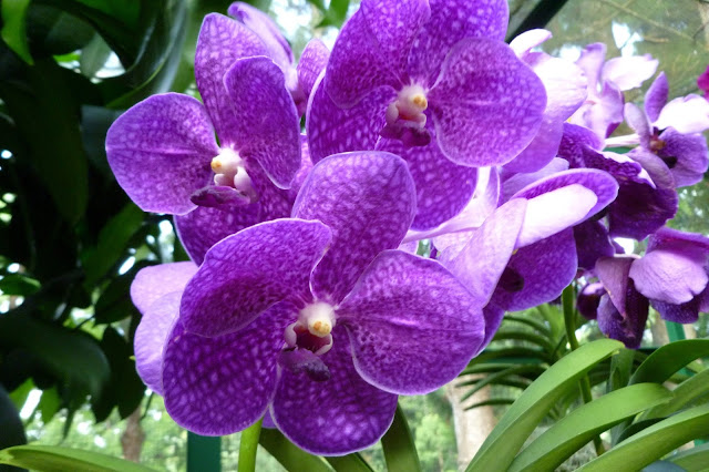 Orchidea fioletowa