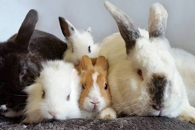 What fluffy bunnies can tell us about domestication: It didn't go the way you think