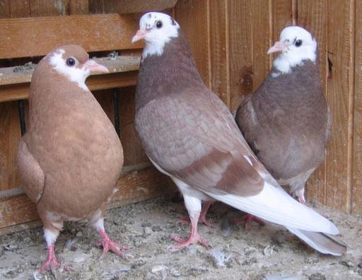 Roller Pigeons
