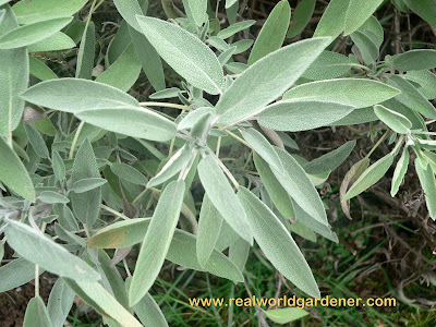 1-Salvia_officinalis_sage.jpg