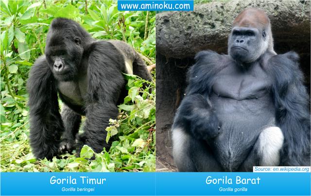 Gorila Barat