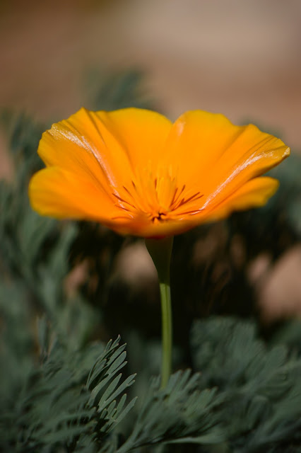 Eschscholzia califonica, California poppy, desert garden, small sunny garden, wildflower, amy myers, photography