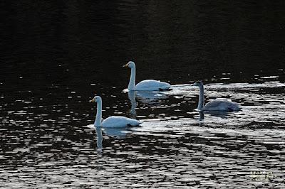 オオハクチョウ ≪Whooper Swan≫