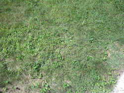 Poor lawn with lots of weeds