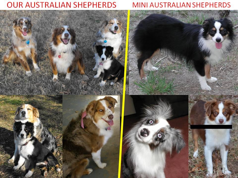 Mini Australian Shepherd Full Grown
