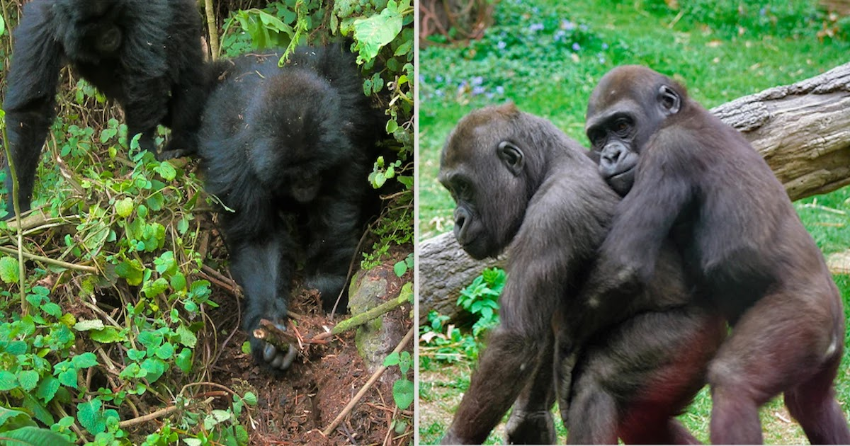 Researchers Have Discovered Young Gorillas Destroying Traps In Their Jungle Home
