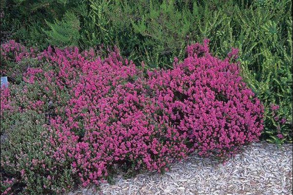 Καλλούνα - Calluna vulgaris