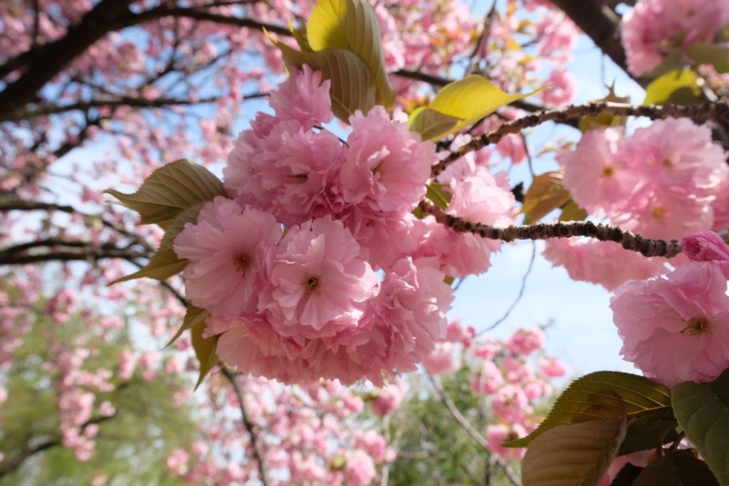 My First Sakura Ever in Japan