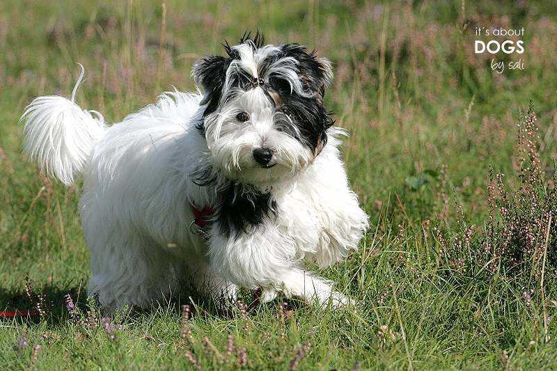 Biewer Yorkshire Terrier Lotta  beim Rennen in der Heide