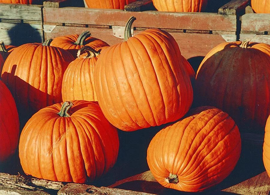 Wooden crates of large, orange, ripe pumpkins