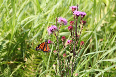 monarch butterflies on northern blazing star