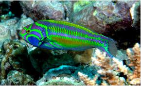 Ikan Hias Air Laut Untuk wrasse