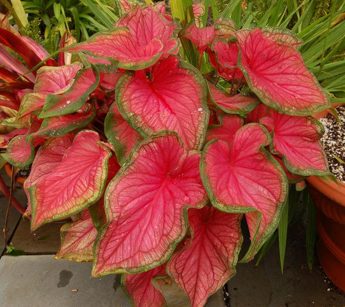 Hasil gambar untuk tanaman keladi red star