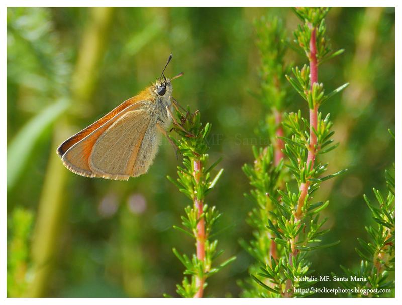 Bruy res et papillons - Bande de bruyere ...