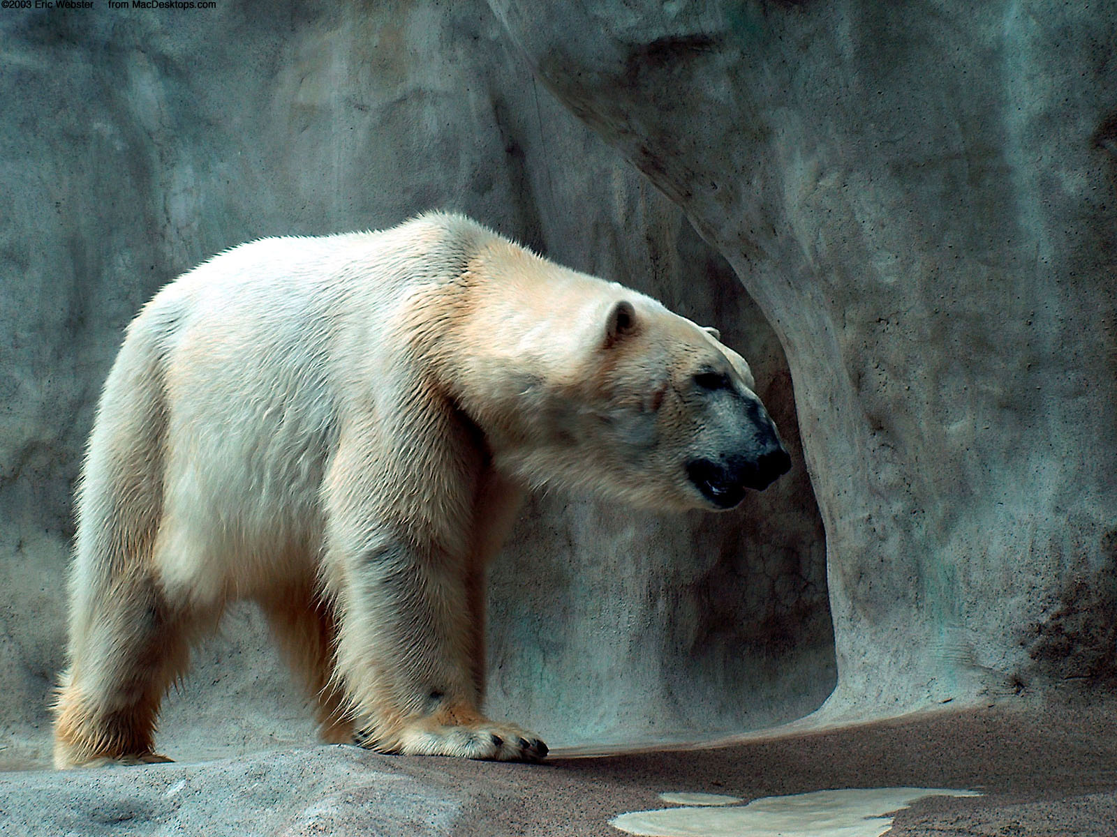 Polar Bear Wallpaper Hd Funny Animal