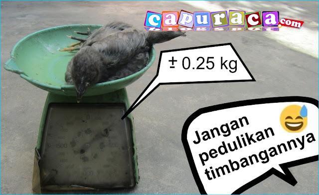 ayam kampung super umur 1 bulan