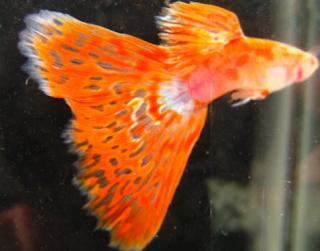 Ikan guppy atau ikan dorry ialah salah satu jenis ikan hias yang sedang terkenal ketika ini Kabar Terbaru- TEKNIK BUDIDAYA IKAN GUPPY PALING GAMPANG