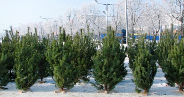 """Скільки коштуватимуть цього року """"новорічні дерева"""""""