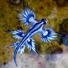 Deadly Blue Dragon Sea Slugs Wash Up On Cape Canaveral, Florida