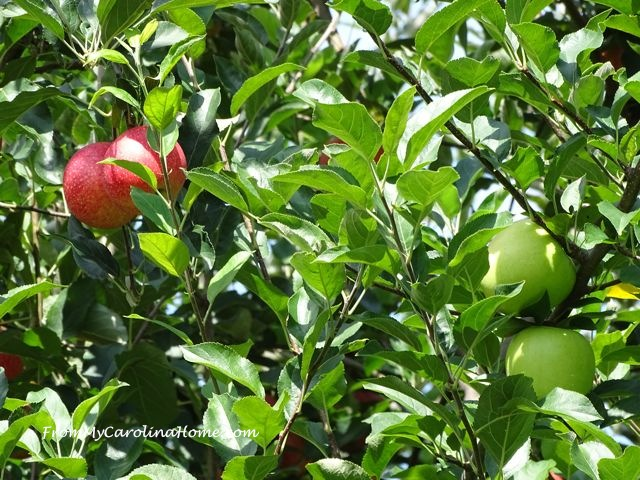 From My Carolina Home - Apple Orchard