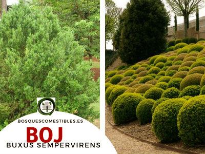 El Boj, Buxus sempervirens, es un Arbusto que puede alcanzar los 4 m. de alto.