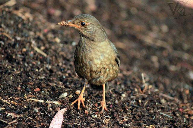 Blackbird Female - Ooty