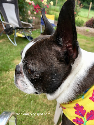 Sinead the Boston terrier at a picnic