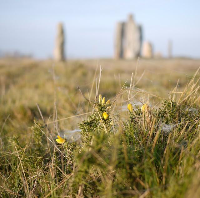 Les landes de Cojoux sont des landes sèches, plantées de bouleaux, de genêts et d'ajoncs.