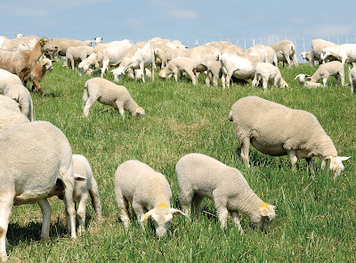 https://www.premier1supplies.com/sheep-guide/wp-content/uploads/2012/08/Adv-rotational-grazing-2.jpg