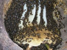 Budidaya Lebah